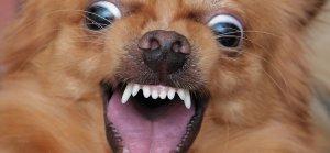 crazy chihuahua