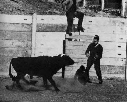 Delgado_halts_a_charging_bull_spain_1964