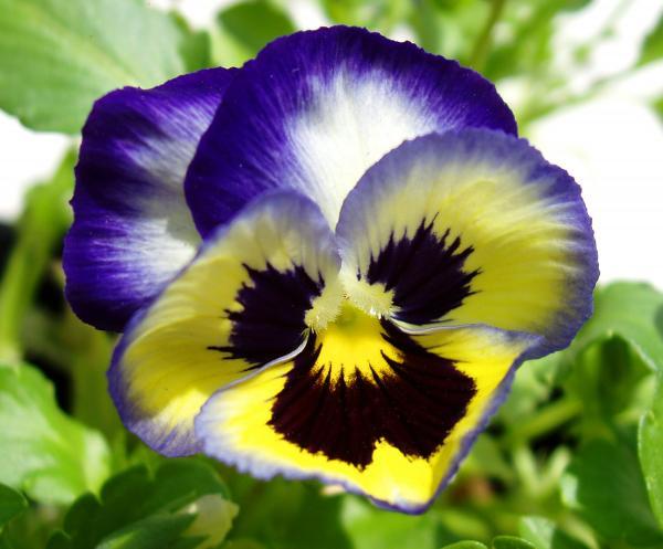 pansy-yellow-purple