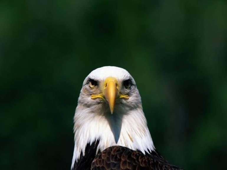 Bald_Eagle-I_See_You-1024x768